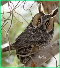 Terkeren 26 Gambar Burung Hantu Di Pohon Richa Gambar