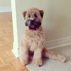 haircuts for wheaten terriers 17 best i wasn t a pet person until wheatens images on pinterest wheaten terrier awesome