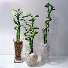 bambou d intérieur ces bambous tournicoteurs am 233 nagements ext 233 rieurs