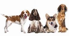 choisir chien test 36 races de chiens d appartement class 233 es pour mieux les