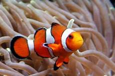 Ikan Nemo Atau Clown Fish Seputar Dunia Air