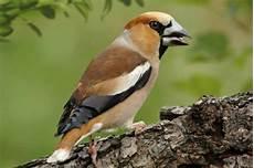 vogelkirsche und vogelwelt lwf wissen 65