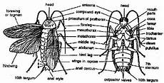 Cockroach Thorax Assignment Help Cockroach Thorax