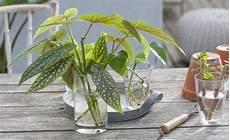 forellenbegonie tipps zur pflanzung und pflege mein