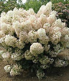 hydrangea paniculata bobo pp 22 782 all perennials at