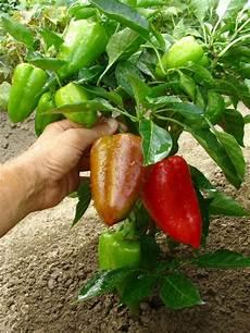 67 besten garten paprika und chilli pflanzen bilder auf