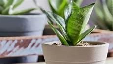 Pflanzen Im Schlafzimmer Die Top 6 F 252 R Gesunde Nachtruhe