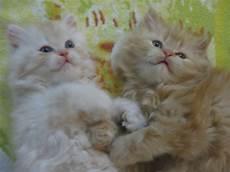 prezzi gatti persiani cuccioli di gatti persiani petpassion