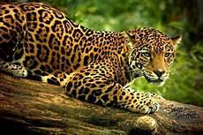 Fakta Menarik Jaguar Singa Dan Harimau Sebagai Tiga