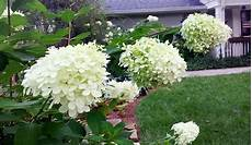 How To Prune Hydrangeas And When Redeem Your Ground