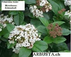 viburnum tinus winterhart mittelmeerschneeball viburnum tinus