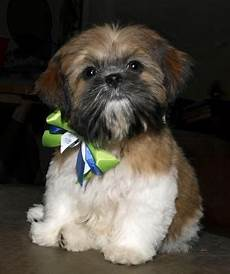 the 25 best dog haircuts ideas pinterest yorkie haircuts maltese haircut and dog grooming