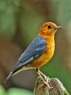 Burung Anis Pesona Gambar Burung Anis 4