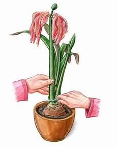amaryllis pflege nach blüte amaryllis pflege dekoideen haus and garten