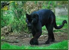 jaguar animal noir la panthere imagystique