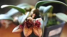 orchidee cattleya orchidee orchidee cattleya appartamento