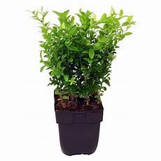 buchsbaum buxus sempervirens topfgr 246 223 e 5 l nicht