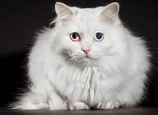 Panduan Lengkap Cara Merawat Kucing Anggora