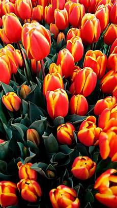 Orange Flowers Iphone Wallpaper by A Lot Flowers Orange Tulips Iphone X 8 7 6 5 4 3gs