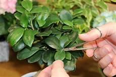 Ginseng Baum Pflege - ficus ginseng als bonsai pflege und schneiden