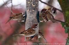 v 246 gel im winter winterv 246 gel vogelf 252 tterung bilder