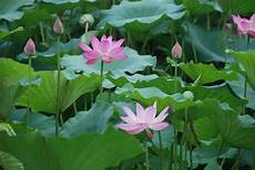 water lotus live pond plants