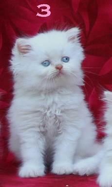 annunci gatti persiani gorgeous gatti persiani per l adozione a casa annunci