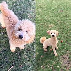 goldendoodle haircut my favorite dog doodle and best types of goldendoodle haircuts in 2020 goldendoodle haircuts goldendoodle dog hair