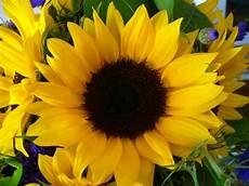 significato girasole nel linguaggio dei fiori san valentino dillo con un fiore