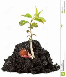Junger Wachsender Aprikosenbaum Stockfoto Bild