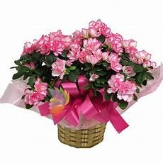 fiori azalee pianta di azalea fiorita spediamo fiori dolci e regali