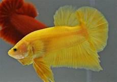 Gambar Ikan Cupang Hias Terlengkap Warna Dasar Harga