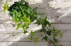 Luftreinigende Pflanzen Top 10 F 252 R Weniger Schadstoffe