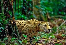 amazon explorer expeditions and survival in the amazon rainforest the jaguar