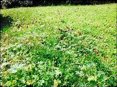 Timing Critical When Controlling Annual Lawn Weeds