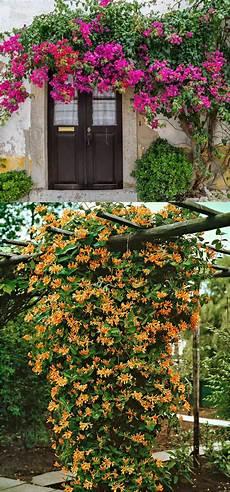 Garden Climbing Plants And Flowers 20 favorite flowering vines and climbing plants a