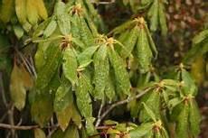 rhododendron hat gelbe bl 228 tter 187 was k 246 nnen sie dagegen tun