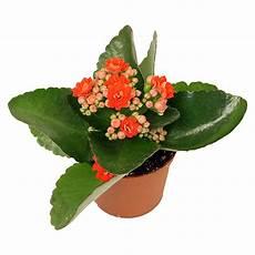 Zimmerpflanze Orange Blüte - flammendes k 228 thchen mini kalanchoe blossfeldiana