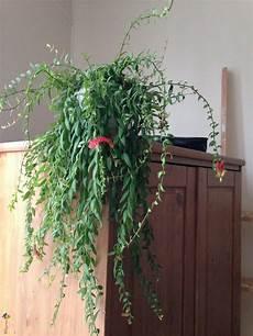 plante retombante photo plante d int 233 rieur tombante 224
