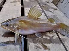 Lundu Ikan Lokal Perairan Indonesia