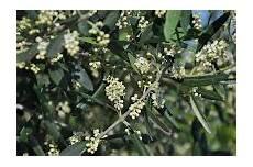 fiori di ulivo cagliari in verde i fiori dell olivo