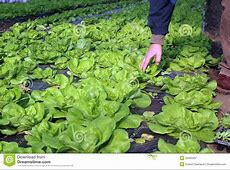 Lettuce Growing In Greenhouse Royalty Free Stock