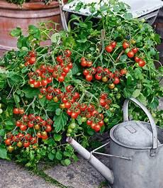 tomaten im garten cocktail tomate losetto f1 tomaten bei baldur garten