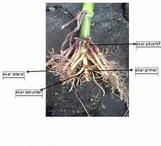 Makalah Penginderaan Morfologi Tanaman Jagung Mir Kebun