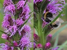 ambrosia blühend lila liatris spicata