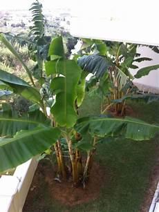 quot bananenbaum im garten quot hotel antilia apartments