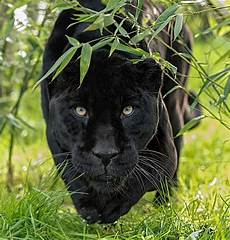 jaguar animal noir black jaguar on