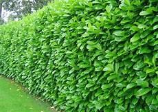 haie laurier prunus laurocerasus rotundifolia gardening