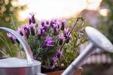 lavendel im topf überwintern mediterrane pflanzen diese gedeihen besonders gut auf dem