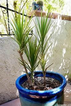 A Dracaena Marginata Needs Pruning How To Do It